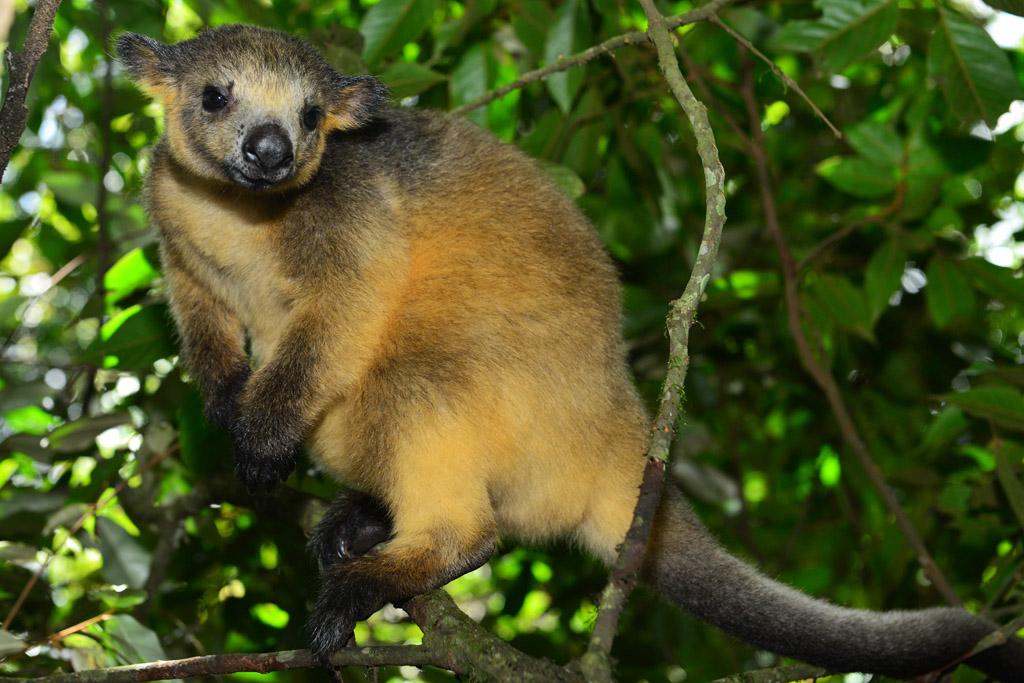 nelson the baby tree kangaroo