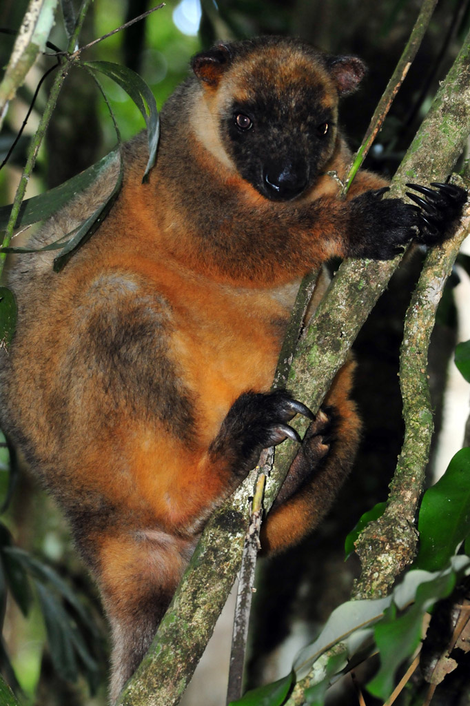 tree kangaroo malanda